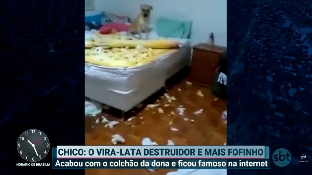 Cão Chico conquista a internet após destruir quarto da dona   Primeiro Impacto (24/07/19)