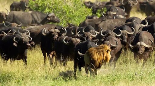 Manada de búfalos expulsando um leão